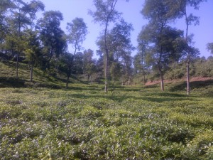 tea estate3